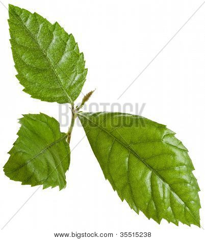 Loquat Medlar Leaves  isolated on a white background