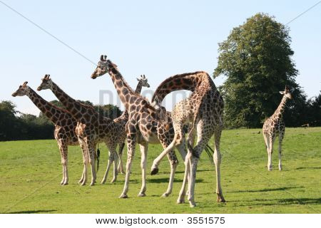 Giraffes Crowd