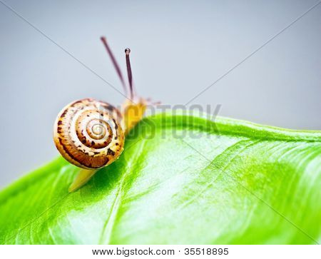 Little snail on wet green leaf, cute slow escargot crawling on grass, slimy brown mollusk on palm leaves, close up shellfish in fresh forest, ecology, environment and wildlife concept