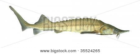The Siberian sturgeon (Acipenser baerii) is a source for caviar and tasty flesh.