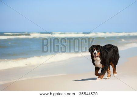Bernese Mountain Dog on sandy beaches