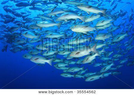 School of Snapper Fish during breeding season