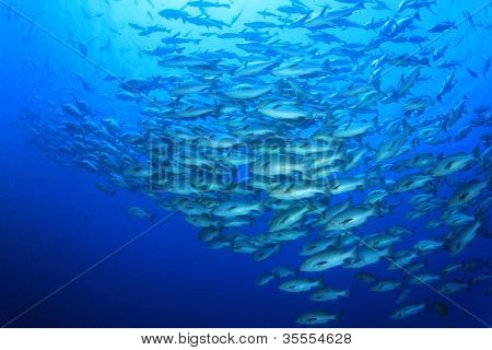 Huge School of Bohar Snapper fish at Shark Reef in the Red Sea