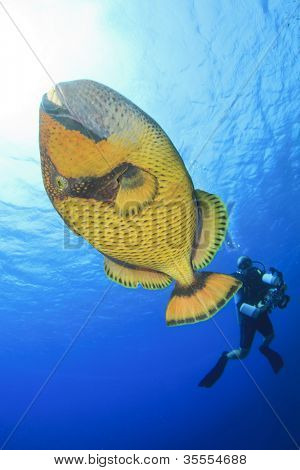 Titan Triggerfish and Scuba Diver
