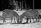 Постер, плакат: Две зебры