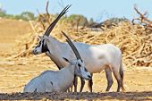 A herd of white wild goats Arabian Oryx on a sunny summer day