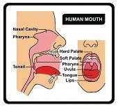 Постер, плакат: Вектор Анатомия человеческого рта
