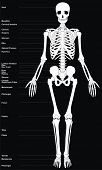 picture of upper thigh  - Human Skeleton  - JPG