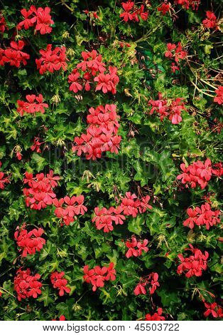 Red Geranium (pelargonium)