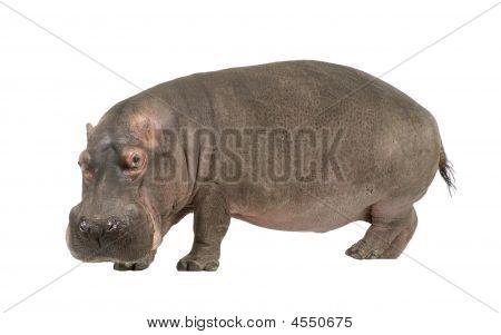 Hippopotamus - Hippopotamus Amphibius ( 30 Years)