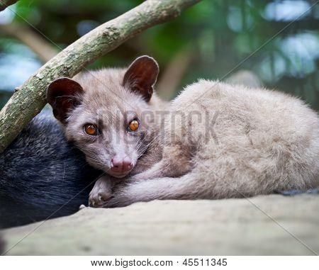 Asian Palm Civet - Luwak