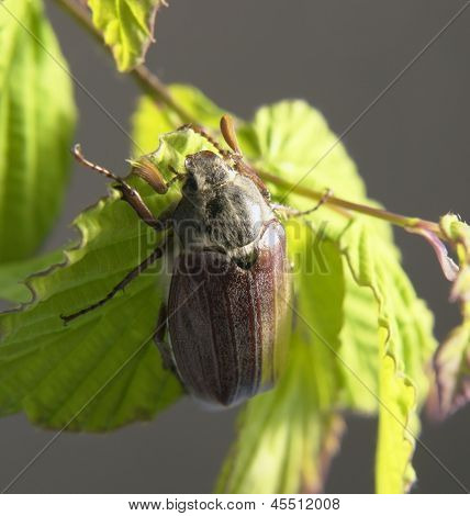 May Beetle In Green Foliage