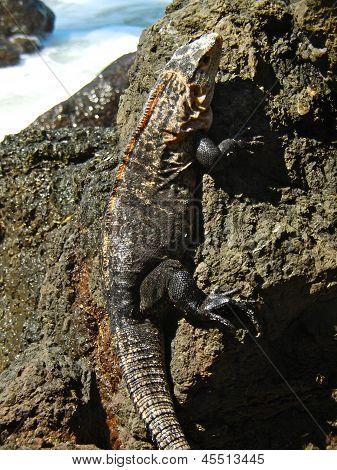Iguana On Iron Shore Formation At Beach