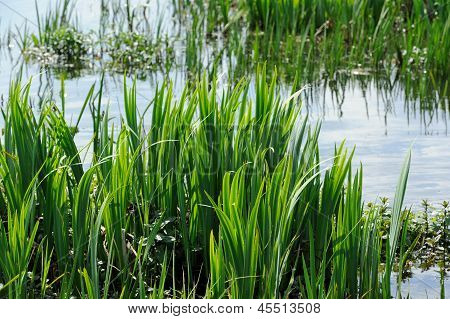 Bulrush (Common Cattail, Reedmace Or Typha Latifolia) Growing By The Lake Shore