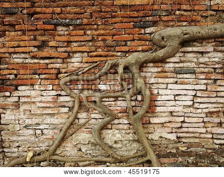Banyan Tree Rooting on the Brick Wall in the Temple, Ayutthaya, Thailand