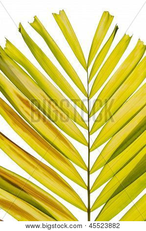 Petal Palm Leaf