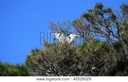 Herons In A Tree, Camargue, France