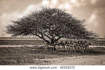 Acia tree with springbok herd