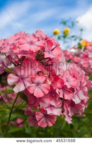 Pink Phlox On A Background Of Blue Sky