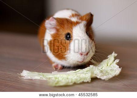 Porquinho da Índia come