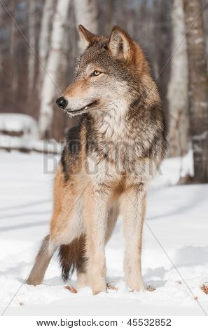 Grey Wolf (Canis lupus) Stands In Treeline Looking Left
