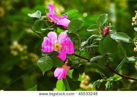 leaves wild rose pink summer flower green background wallpaper