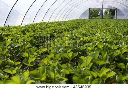 Strawberry Field.