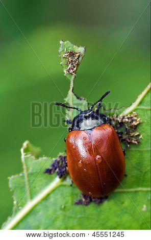 Red Cercopidae Vulnerata Coccinellidae Anatis Ocellata Coleoptera