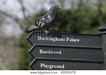 Pigeon And Sign