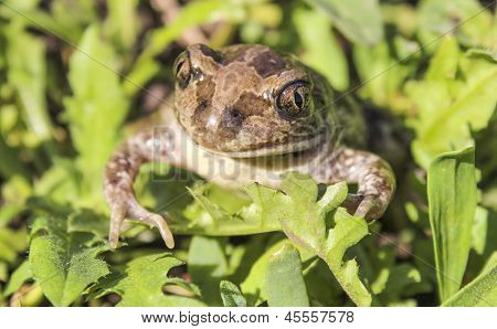 Bufonidae. Toad.