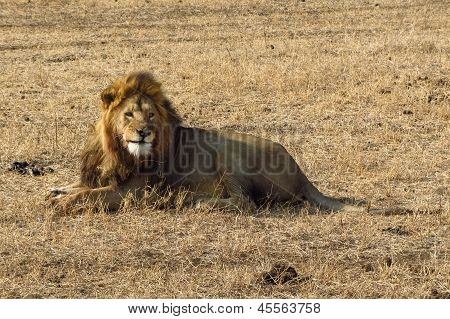 Lion male having a rest.
