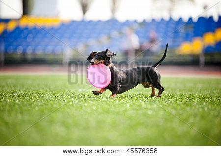 Dachshund Dog Brings The Flying Disc