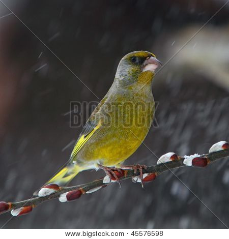 Green Finch In Snowfall - Carduelis Chloris