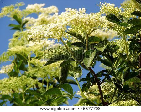 Sambucus Nigra Or Common Elder Contest