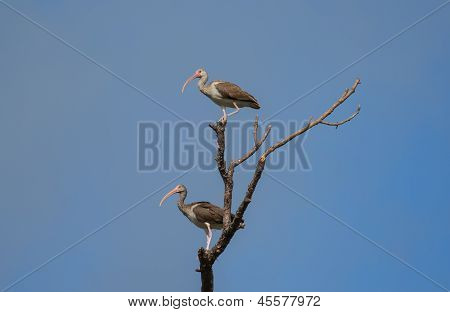 Two Juvenile White Ibis In A Tree