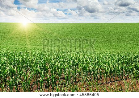 Sunrise Over The Corn Field