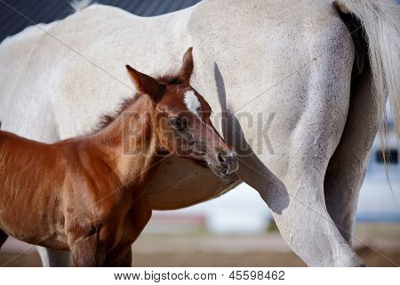 Foal With A Mare.