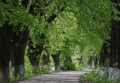 stock photo of linden-tree  - path in park with linden trees at summer - JPG