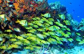 stock photo of playa del carmen  - School of Porkfish  - JPG