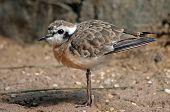 picture of killdeer  - Cute killdeer plover standing in the sand - JPG