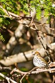 picture of ovenbird  - An Ovenbird perched in a conifer tree - JPG