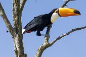 Excotic Toucan Bird In A Tree On A Blue Sky