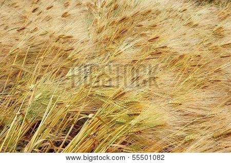 Flattened Rye
