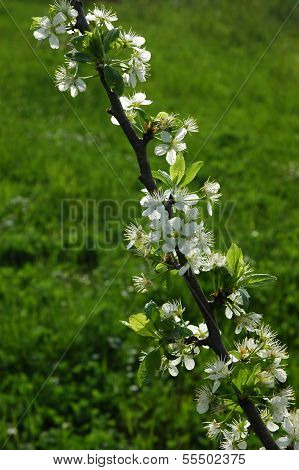 Orchard spring blooming of a plum