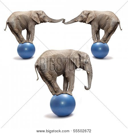 African elephants (Loxodonta africana) balancing on a blue balls.