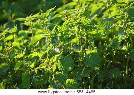 Wild Nettle-urtica Dioica