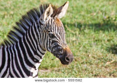 Baby Zebra Portrait