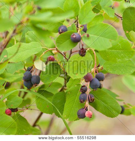 Ripe Saskatoon Berries Amelanchier Alnifolia