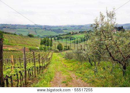 Road Between Vineyard And Olive Trees