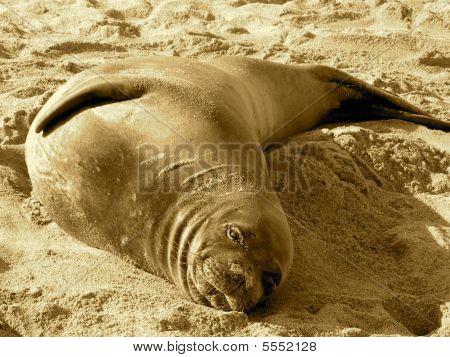 Resting Wild Hawaiian Monk Seal